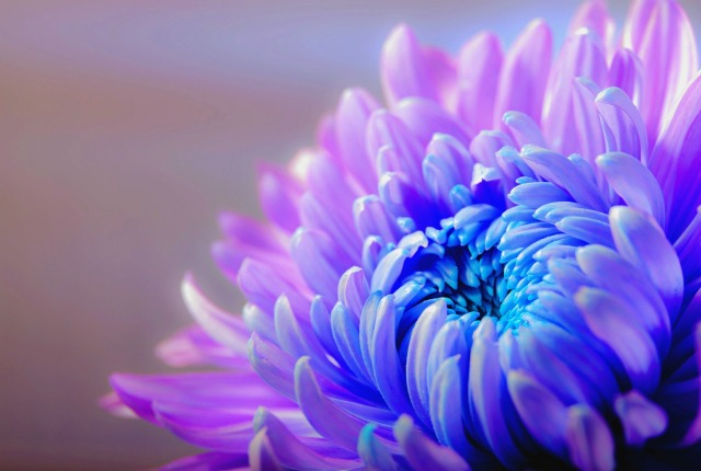 chrysanthemum-1332994_1920